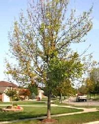 Tree showing decline due to emerald ash borer damage