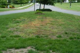 grub damage on lawn